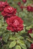 Roseraie de floraison Image libre de droits