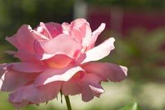 Roseraie de thé pendant l'automne Image stock