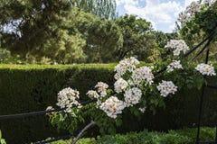 Roseraie en parc de Retiro, Madrid Douleur de S Image stock