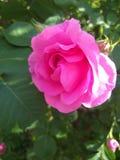 Roseraie, fleur, conception d'été images stock