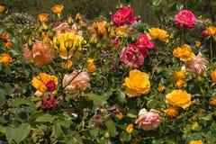 Roseraie merveilleuse avec des beaucoup variété de fleurs Images libres de droits
