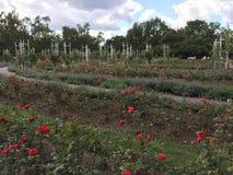 Roseraie rouge Image libre de droits