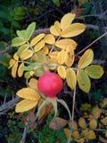 Roseraie vermelho de l ` Hay Berry e folhas 2 do amarelo Imagem de Stock Royalty Free