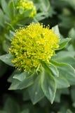 Золотой корень, он такое же Roseroot, штанга Аарона Стоковая Фотография RF