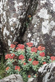 Roseroot Rhodiola rosea on coast in Scotland. Roseroot Rhodiola rosea on Staffin coast on the Isle of Skye in Scotland stock images