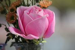 This is a colorful roses. The roses,This is a colorful roses royalty free stock photos