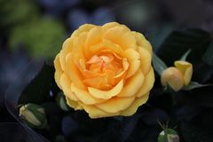 This is a colorful roses. The roses,This is a colorful roses royalty free stock photo