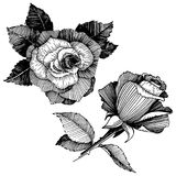 8 roses à main levée de trame de format noir du retrait ENV d'ajout là tracent le blanc de version de vecteur Fleur botanique flo Photos stock