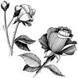8 roses à main levée de trame de format noir du retrait ENV d'ajout là tracent le blanc de version de vecteur Fleur botanique flo Photos libres de droits