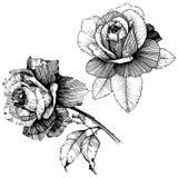 8 roses à main levée de trame de format noir du retrait ENV d'ajout là tracent le blanc de version de vecteur Fleur botanique flo Photographie stock libre de droits