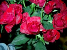 Roses. Beautiful red roses stock image