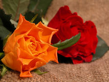 Roses. Orange and red roses Stock Image