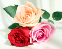 Roses. Beautiful red and pink roses Royalty Free Stock Image