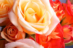 Roses. Some roses close up (multicolor Stock Photography