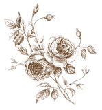 Roses. Old-styled  rose. Trace of freehand drawing Stock Photo