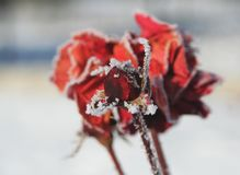 Roses. Flowering red rose frozen in winter time stock image