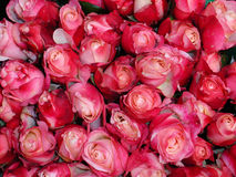 Roses. Background from red and pink small roses closeup Royalty Free Stock Image