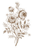 Roses. Old-styled  rose. Trace of freehand drawing Royalty Free Stock Photography