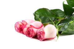 Roses. On pure white background Stock Photos