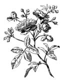 roses illustration stock