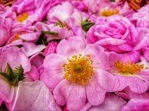 Roses roses images libres de droits