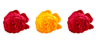 Roses. Three roses isolated, two red and on yellow Stock Images