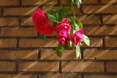 Roses. Some roses with a brick wall Royalty Free Stock Photos