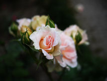The Roses. The pink roses are blooming in the garden Royalty Free Stock Image