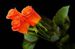 Roses 1a. Three red rose flowers on black background royalty free stock photo