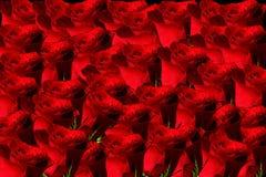 Roses. Fresh red roses beautiful background Stock Image