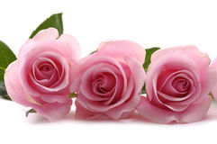 Roses. Beautiful three pink roses on white Stock Photos