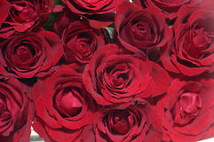 Roses. Close-up of Red roses Stock Photo