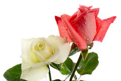 Roses. Two roses with drops of water on a white background Stock Photography