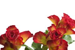 Roses. Nice red-yellow roses. Isolated. Background white Stock Photography