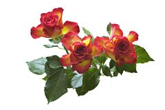 Roses. Nice red-yellow roses. Isolated. Background white Stock Photo