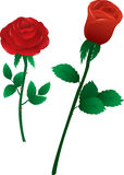 Roses. Vector illustration two red roses on white background Stock Images