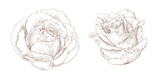 Roses. Vector illustration with roses in vintage engraving style Royalty Free Stock Images