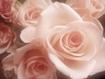 Roses. Bouquet of beautiful pink roses Royalty Free Stock Images