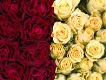 Roses. Background stock images