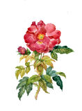Roses. Watercolor background, beautiful flower, colorful design Royalty Free Stock Images