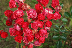 Roses. It is bunch of beautiful red roses Royalty Free Stock Image