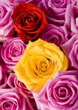 Roses. Rose (Rosa), a kind of flower which belongs to the rose-like family, includes over 200 species (according to some researchers up to a few thousands) royalty free stock photo