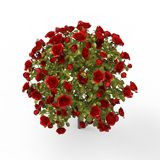 Roses. This is a 3d illustration about roses Stock Images