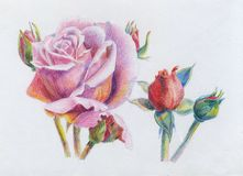 Roses. Pink roses color pencil drawing color on a white background Vector Illustration