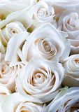Roses Royalty Free Stock Photo