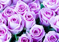 Roses. Rose (Rosa), a kind of flower which belongs to the rose-like family, includes over 200 species (according to some researchers up to a few thousands) royalty free stock image