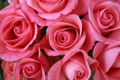 Roses. Close Up Stock Photography