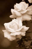 Roses Stock Images