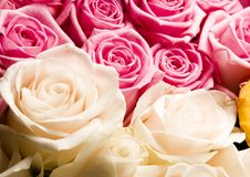 Roses. Rose (Rosa), a kind of flower which belongs to the rose-like family, includes over 200 species (according to some researchers up to a few thousands) royalty free stock photography