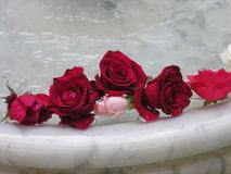 Roses. In fountain stock images